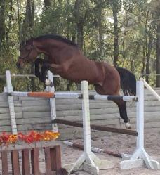 WONDERFUL TB MARE FOR SALE