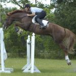 Lotus T Holsteiner Stallion